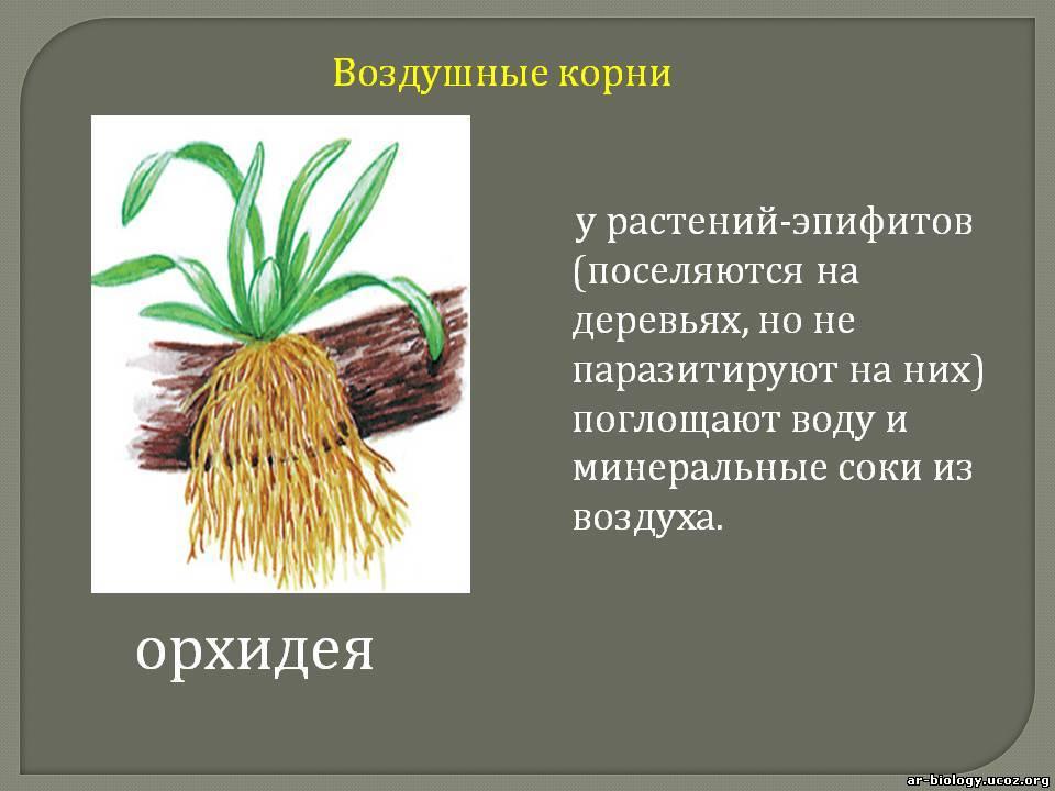 Презентации по теме корень